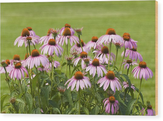 Purple Cone Flowers Wood Print