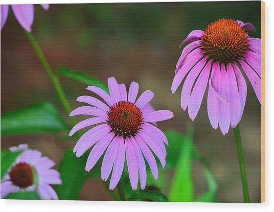 Purple Coneflower - Echinacea Wood Print