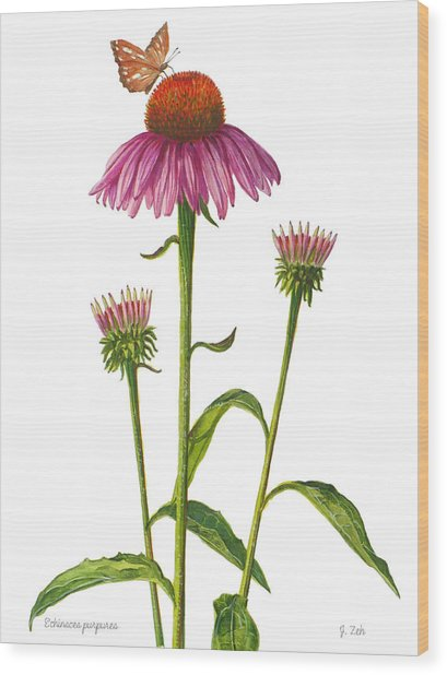 Purple Coneflower - Echinacea Purpurea  Wood Print