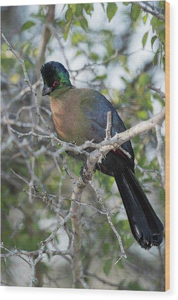 Purple-crested Turaco Wood Print by Tony Camacho