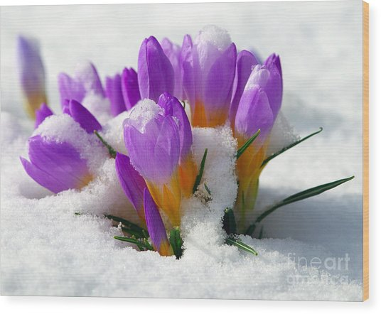 Purple Crocuses In The Snow Wood Print