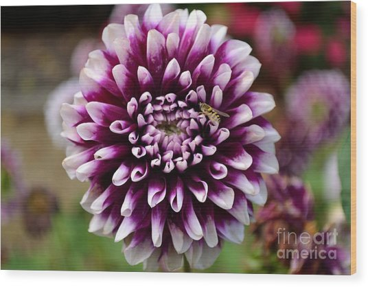 Purple Dahlia White Tips Wood Print