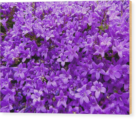 Purple Dalmatian Bellflower Wood Print by Vanessa Thomas