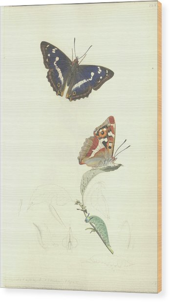Purple Emperor Butterfly Wood Print by Natural History Museum, London/science Photo Library