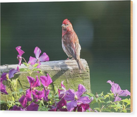 Purple Finch By Clematis Wood Print