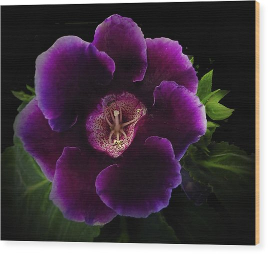 Purple Gloxinia   Wood Print