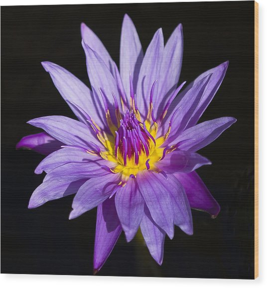 Purple Lilly Wood Print