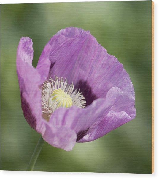 Purple Poppy Wood Print