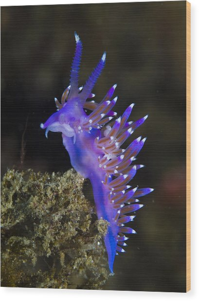 Purple Seaslug Wood Print by A. Martin UW Photography