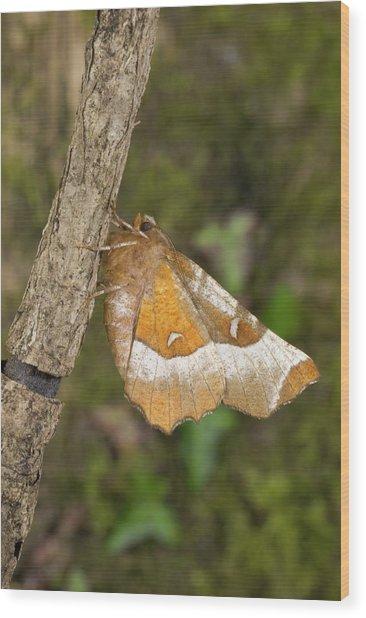 Purple Thorn Moth Wood Print by David Aubrey/science Photo Library
