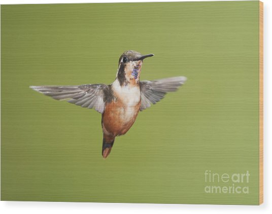 Purple-throated Woodstar Hummingbird Wood Print