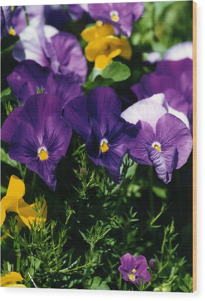Purple Violas Wood Print