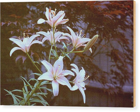 Purple/white Lily Wood Print