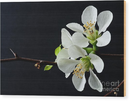 Quince Branch 2012 Wood Print