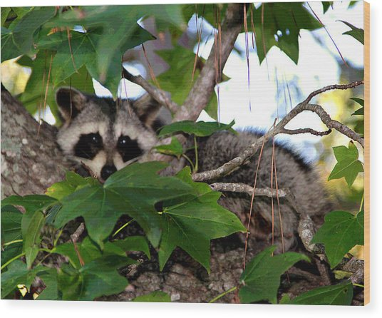 Raccoon Eyes Wood Print