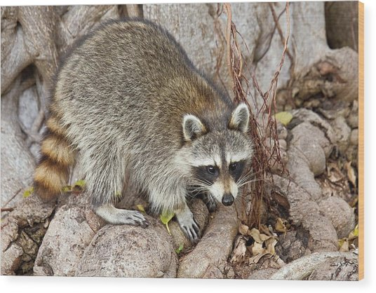 Raccoon Foraging For Food Wood Print by Bob Gibbons