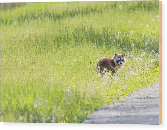 Raccoon In Green Field Wood Print by Jill Bell