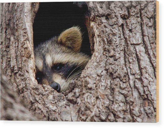 Raccoon In Tree Wood Print by Jill Bell