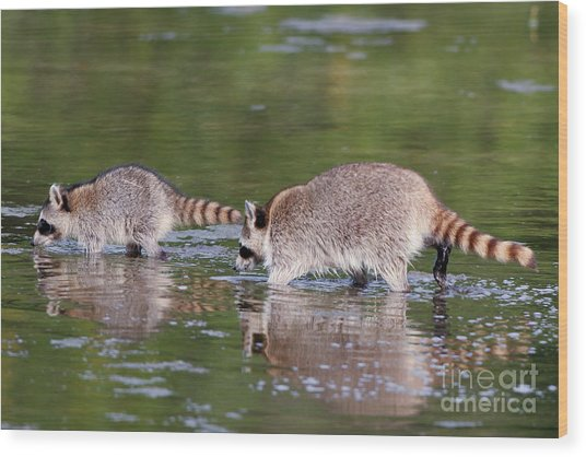 Raccoon Mother And Baby Wood Print