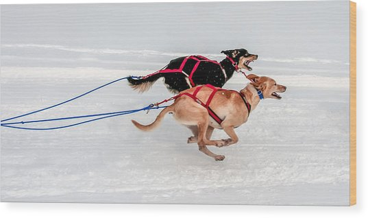 Racing Sled Dogs Wood Print