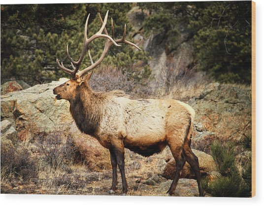 Rack Of Elk Wood Print