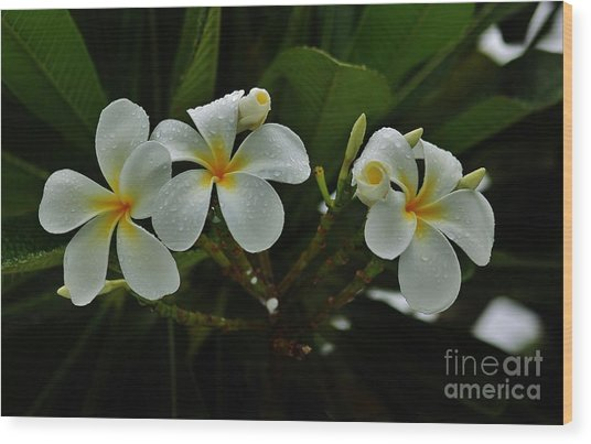 Rain Kissed Plumeria Wood Print