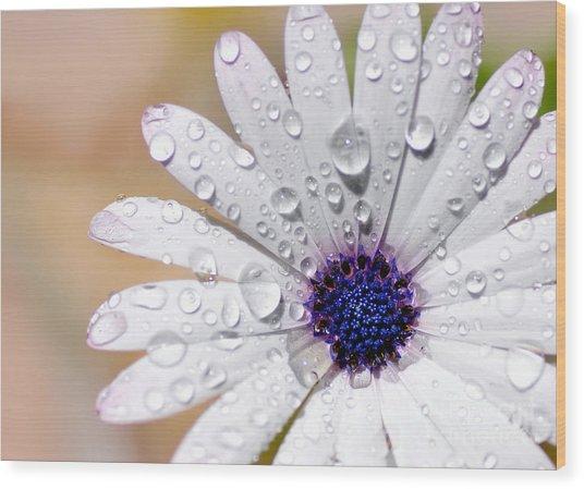 Rain Soaked Daisy Wood Print