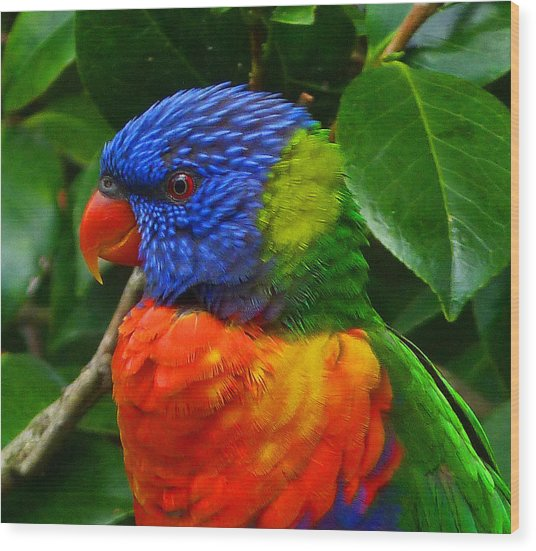 Rainbow Lorikeet Deep In Thought Wood Print