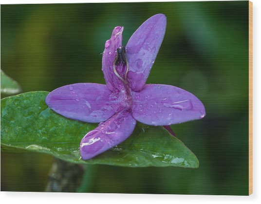 Raindrops On Purple Petals Wood Print