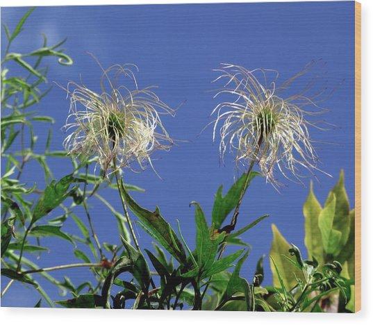 Ranunculaceae Clematis Seed Heads Wood Print