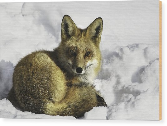 Ready Red Fox Wood Print