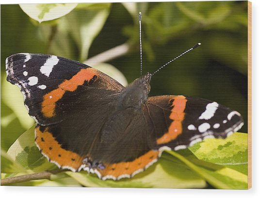 Red Admiral Butterfly Wood Print