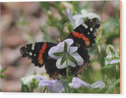 Red Admiral  Wood Print by Sarah Boyd