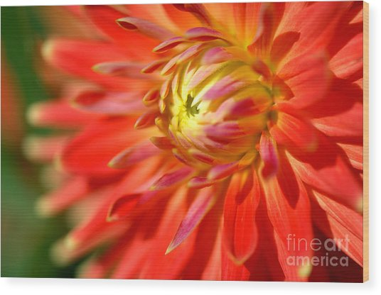 Red And Yellow Dahlia Flower Close Up Wood Print