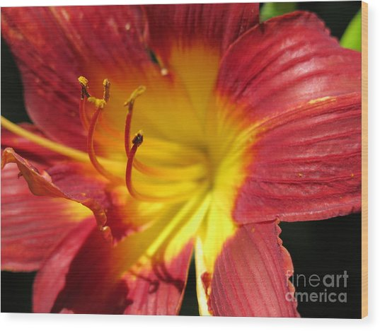 Red And Yellow Day Lily Wood Print