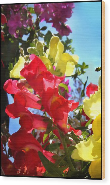 Red And Yellow Snapdragons I Wood Print by Aya Murrells