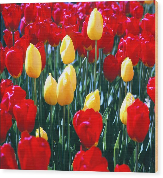 Red And Yellow Tulips - Square Wood Print