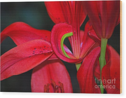 Red Asiatic Lily Wood Print