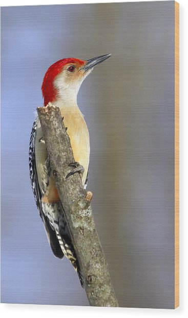 Red-bellied Woodpecker Wood Print by David Lester