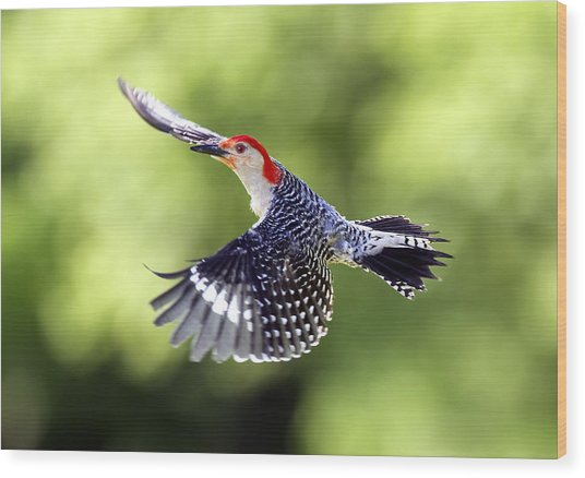 Red-bellied Woodpecker Flight Wood Print by David Lester