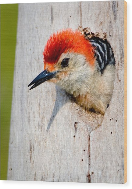 Red-bellied Woodpecker II Wood Print