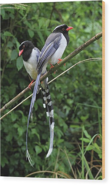Red-billed Blue Magpies Wood Print