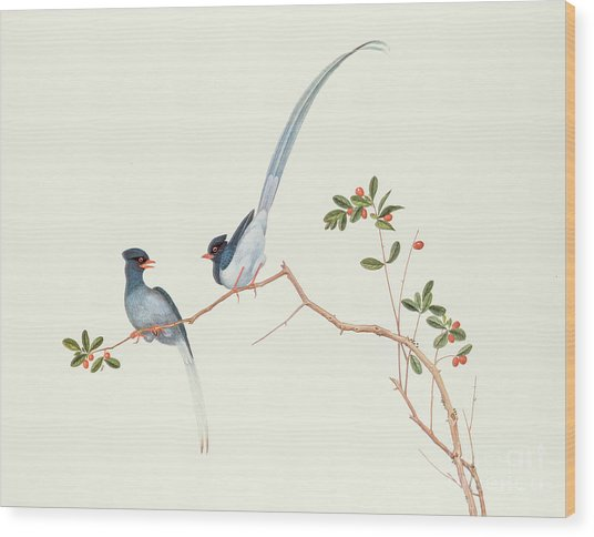 Red Billed Blue Magpies On A Branch With Red Berries Wood Print