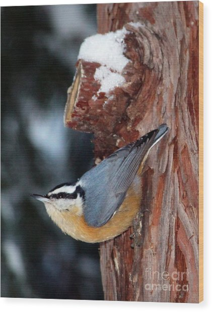 Red Breast Nuthatch  Wood Print