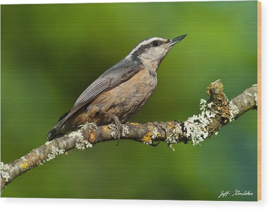 Red Breasted Nuthatch In A Tree Wood Print