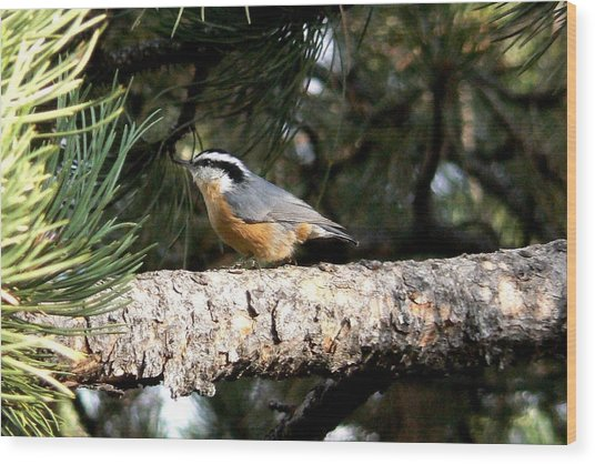 Red-breasted Nuthatch In Pine Tree Wood Print
