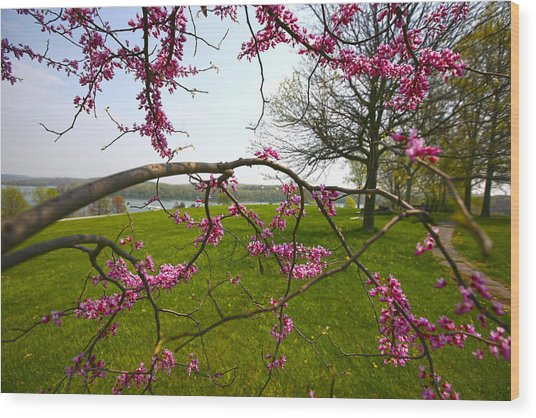 Red Bud Bloom Wood Print by John Holloway