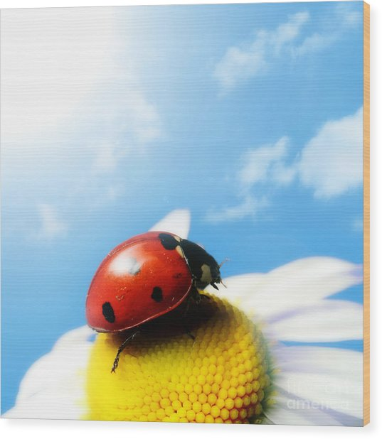 Red Bug On Camomile Flower Wood Print