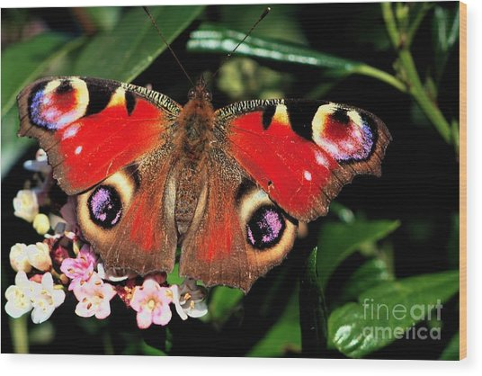 Wood Print featuring the photograph Red Butterfly In The Garden by Jeremy Hayden