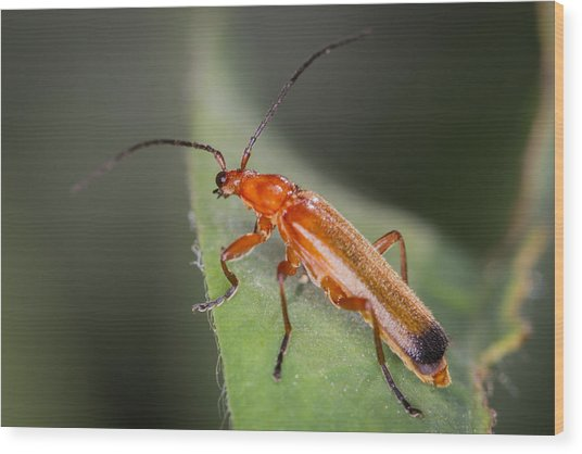 Red Cardinal Beetle Wood Print